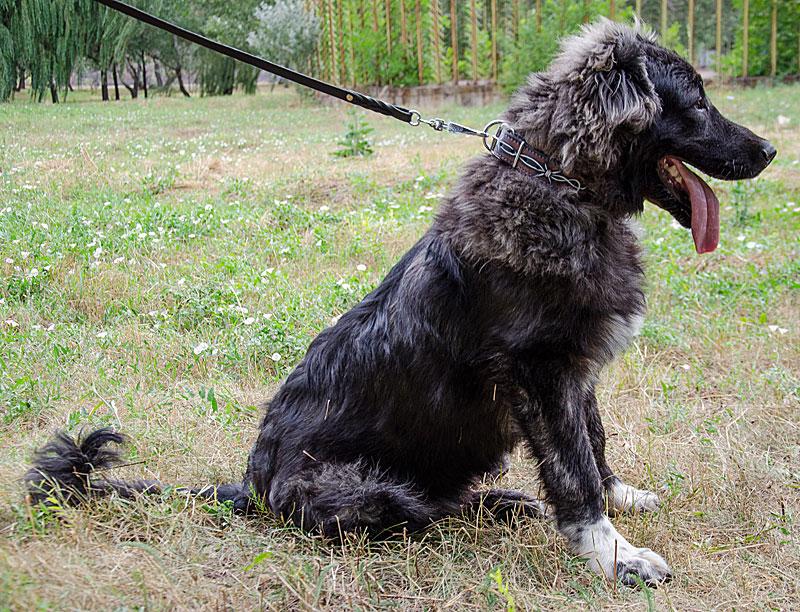 Chien Peint collier artisanal en cuir peint pour chien berger d'asie centrale - c78