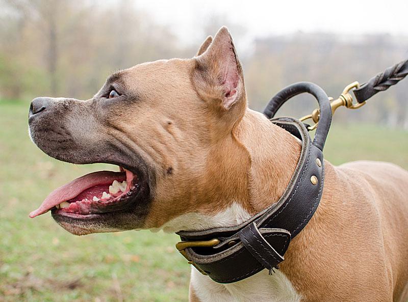 nouvelles images de nouvelles promotions sélectionner pour plus récent Collier en cuir avec poignée pour chien Amstaff - C33